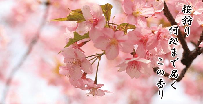 桜狩り 何処まで届く この香り